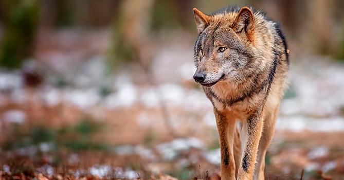 Отстрел волков запрещен, но и урон от их нападения никто не возместит – Что делать фермерам?