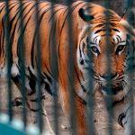 На потеху публике: дикие животные - жертвы индустрии развлечений