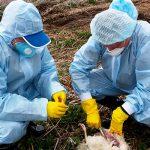 Обнародованы результаты мониторингов, проведенных в связи с птичьим гриппом
