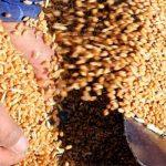 Как отразится на азербайджанском рынке рекордный рост цен на российскую пшеницу