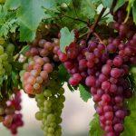 Ученые раскрыли пользу винограда для профилактики рака
