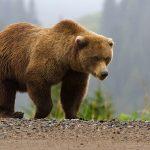 За убийство бурого медведя задержаны шестеро человек
