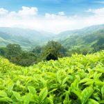 Азербайджанский чай будет экспортироваться в Турцию