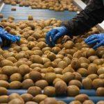Во ввозимых в Азербайджан 10 тоннах киви обнаружены вредные организмы