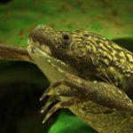 Ученые нашли в Африке лягушку-каннибала, которая ест чужих головастиков