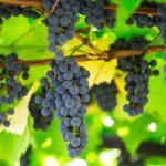 Фруктовые деревья вместо виноградников: Агстафинские фермеры будут разочарованы своим решением