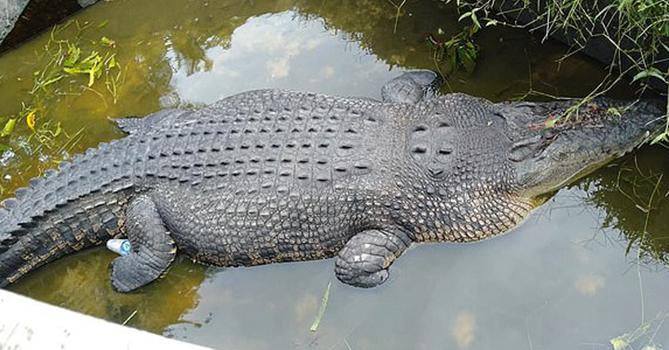 В Индонезии крокодил съел женщину-биолога во время кормления