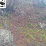 В национальном парке Азербайджана обнаружен еще один леопард