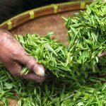 Импорт чая растет, а местное производство падает