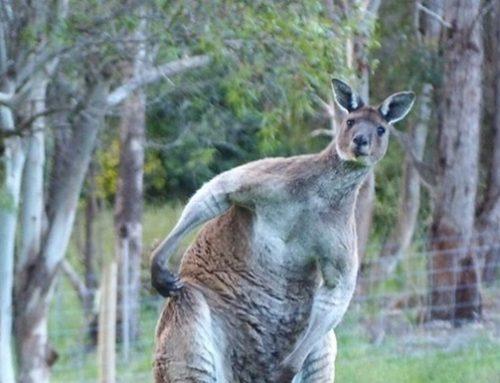 В Дании полиция объявила в розыск кенгуру