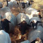 Импорт сельскохозяйственных животных влетает стране в копеечку