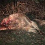 Волки в Шеки напали на скот