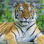 Вторая за неделю тигрица погибла в Великобритании