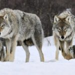 Жительницу Финляндии обвиняют в нелегальном ввозе волков из России
