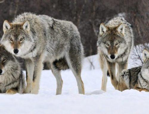 В Геранбойском районе Азербайджана свирепствуют волки