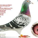На аукционе в Бельгии продали голубя за €1,25 млн