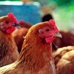 Почему азербайджанские куры дороже заморских?