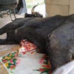 В Газахе предотвращена реализация более 300 кг мертвечины