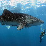 У израильского побережья Красного моря впервые за год заметили китовых акул