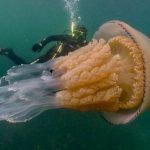 В Англии нашли гигантскую медузу размером с человека