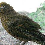 Палеонтологи нашли в Новой Зеландии останки гигантского попугая