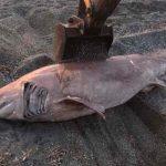 У берегов турецкой провинции Измир поймана акула