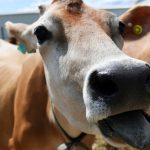Чипирование сельхозживотных: все «за» и «против»