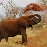 В Индии умер слон-убийца по кличке бен Ладен