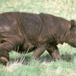 Последний суматранский носорог умер в Малайзии
