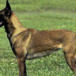 Собаки тоже могут заразиться Sars-CoV-2