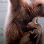 В Великобритании родились два детеныша разных исчезающих видов обезьян