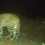 В нацпарке обнаружены еще два детеныша леопарда