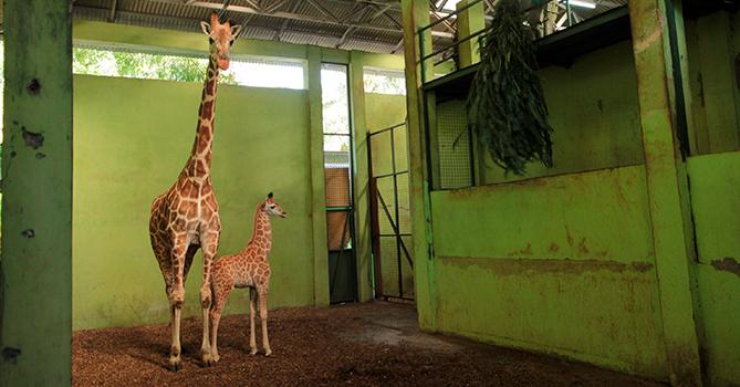 Родившегося на Бали во время пандемии жирафа назвали Корона