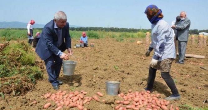 Копай, не копай: картошка не спасет от увольнения глав ИВ