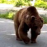 Медведь из Шеки был ранен: где сейчас животное, и что с ним будет? – КОММЕНТАРИЙ WWF