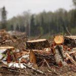 Зеленые жертвы бизнеса: у нас лес сдается в аренду, чтобы его уничтожали