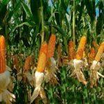 Безотходное производство: выращивание кукурузы может принести немалую прибыль