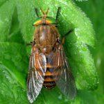 В Австралии ученые назвали новые виды мух в честь героев вселенной Marvel