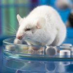 Сибирские ученые хотят использовать трансгенных мышей для борьбы с COVID-19