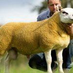В Шотландии продали самого дорогого барана в мире