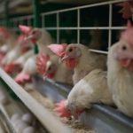 Птичье мясо неизвестного происхождения будет продаваться и впредь
