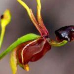 Цветок харыбюльбюль встречается не только в Шуше – Минэкологии Азербайджана