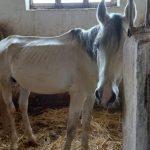 Кожа да кости: Министерство культуры обрекает лошадей в Шеки на голодную смерть? – ФОТО