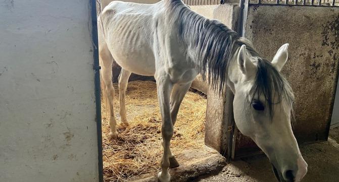 ZERKALO.AZ Лейла Алиева спасет голодных лошадей, брошенных Минкультуры –  репортаж из ШЕКИ – ФОТО -