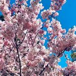 Японская красавица поразила бакинцев: весна в Баку преподносит сюрпризы – ФОТО