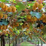 Сельскохозяйственная экзотика: каковы перспективы выращивания тропических фруктов в Азербайджане?